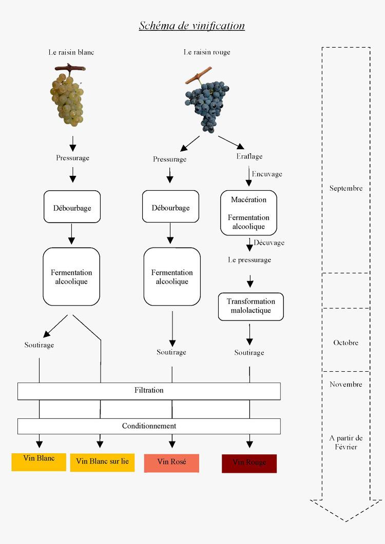 vinification vin rouge etapes