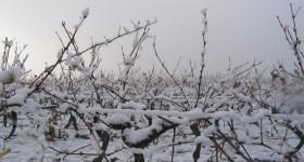 La vigne du Domaine Grandjouan sous la neige